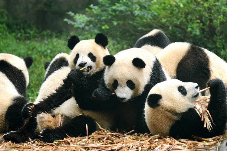 Panda Facts