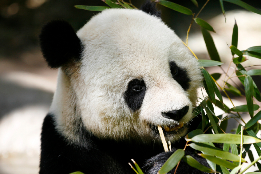 Panda Fur Price