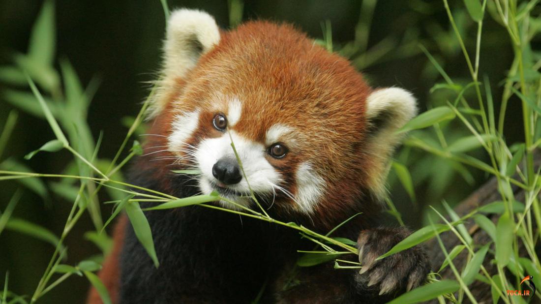 red panda eat bamboo