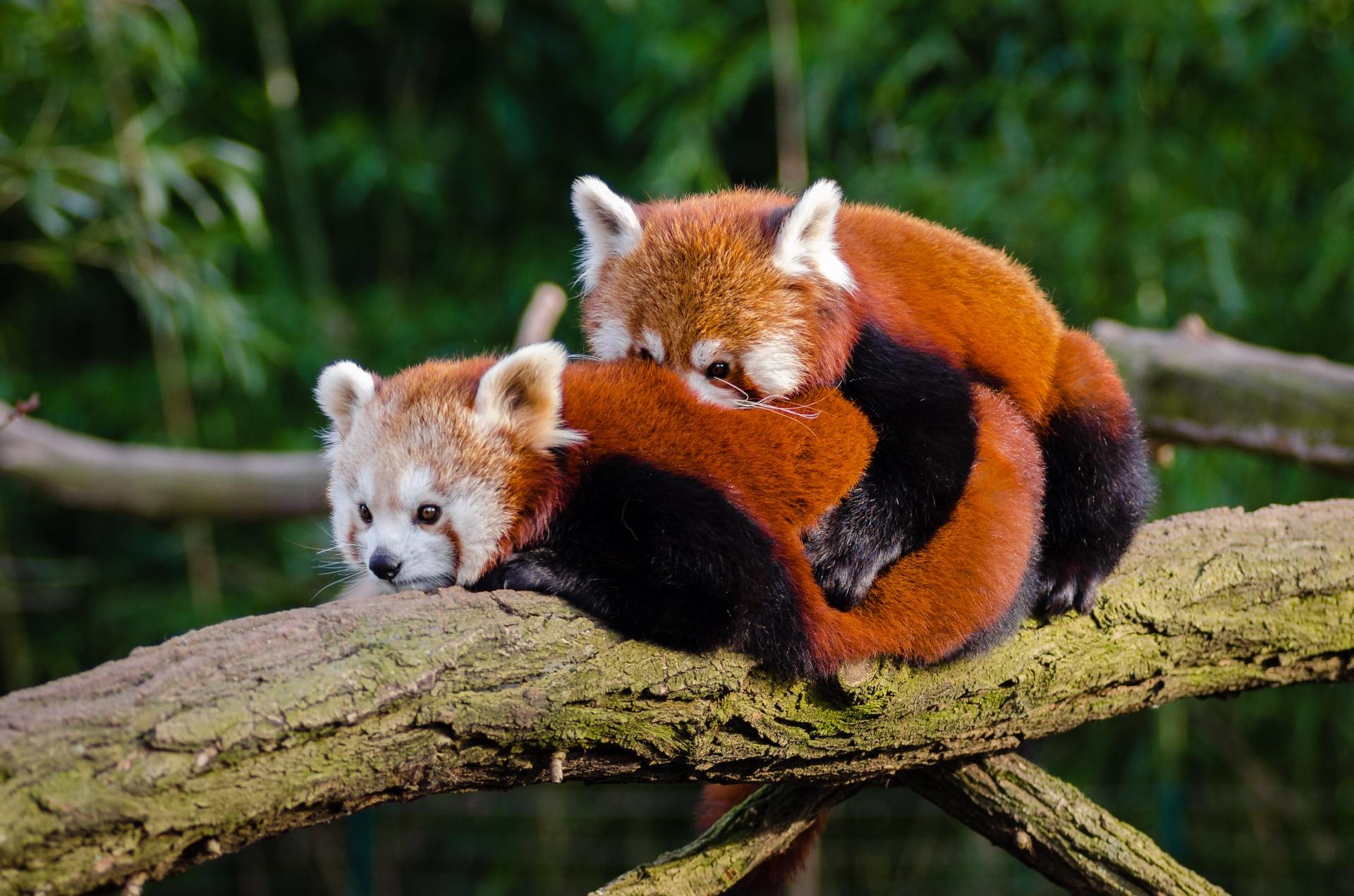 red panda couple