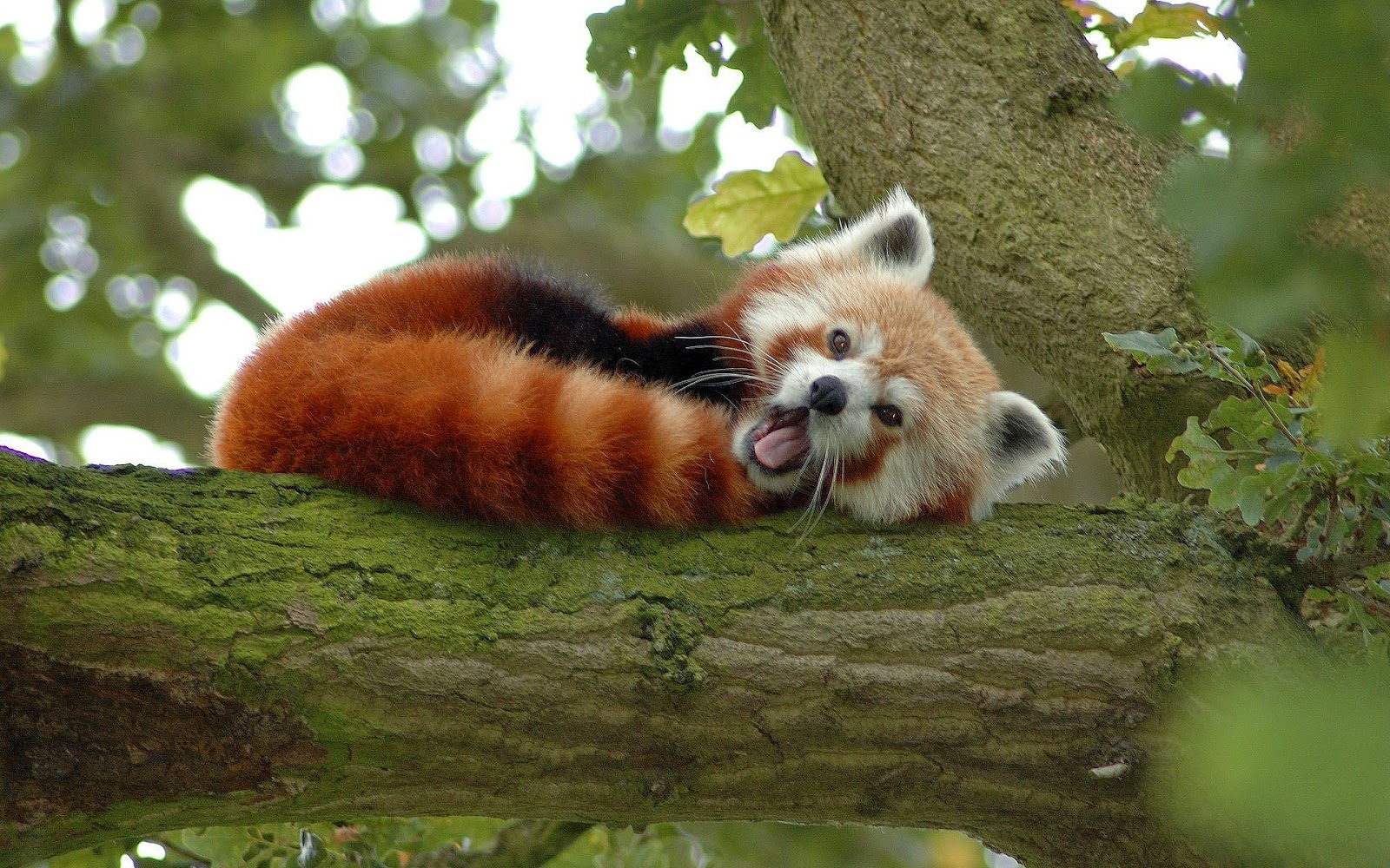red panda resting in trees