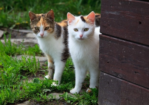 calico cats give birth to calico kittens