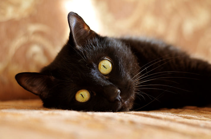 In Japan, black cats are considered as a good luck