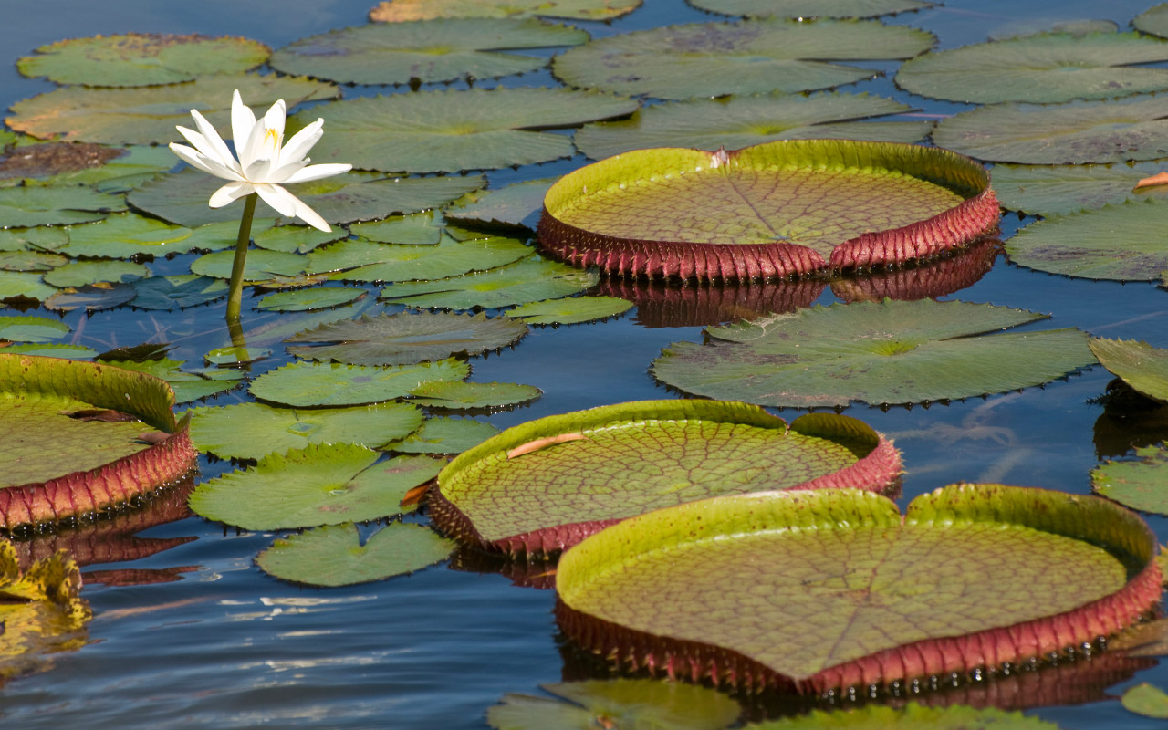 Amazonian water lilies leaves can grow over 2 meters in diameter