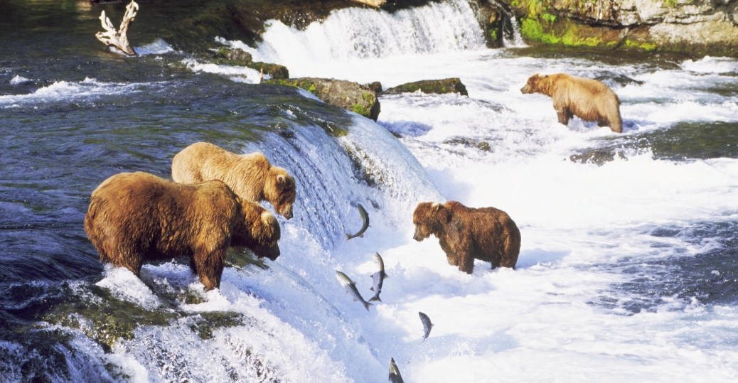 Katmai National Park is home to approximately 4,000 Alaskan brown bears.
