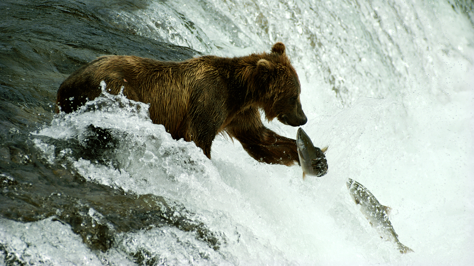 A grizzly bear eat almost 20,000 calories a day.