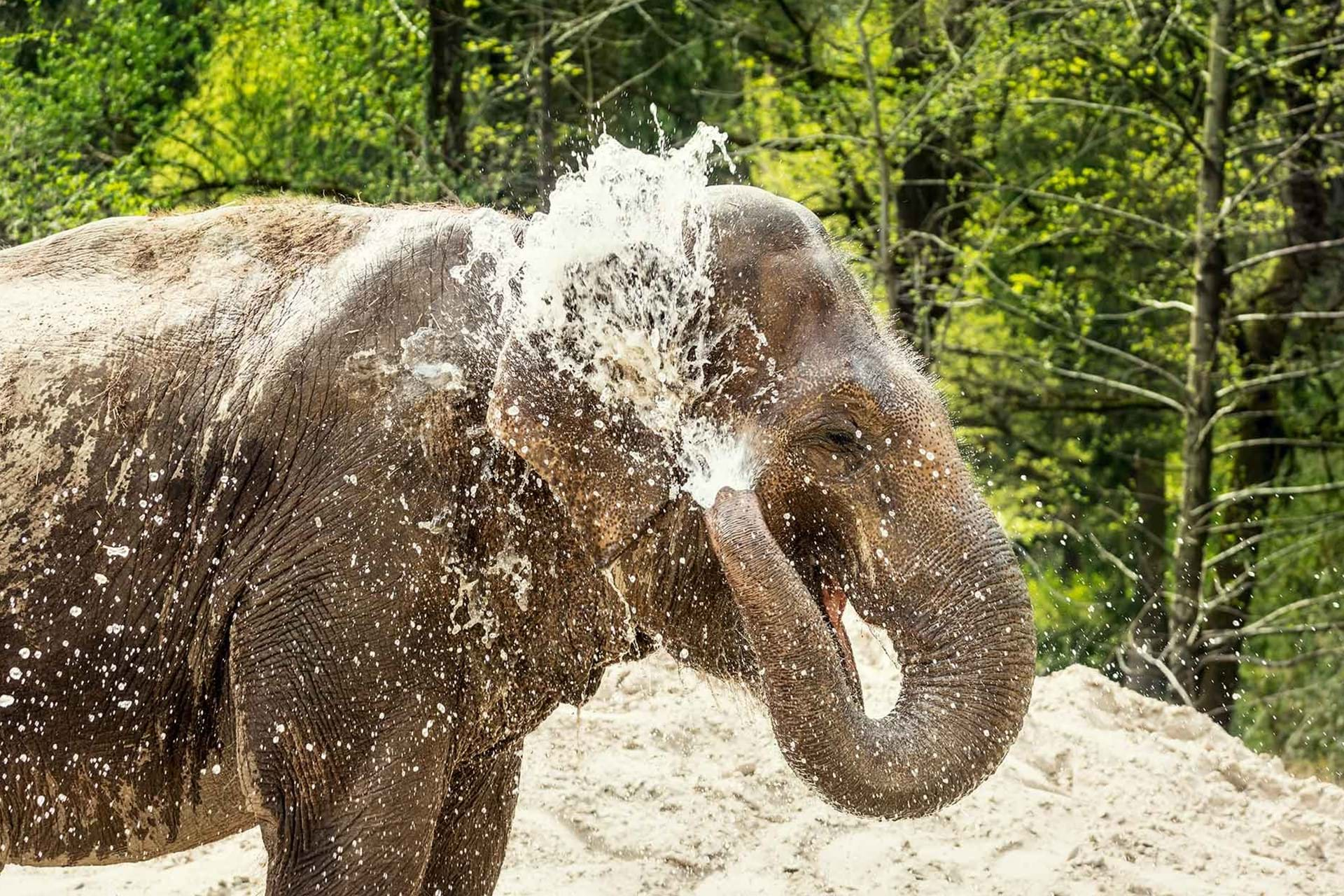 An Asian elephant can hold 8.5 L of water in its trunk - Serious Facts