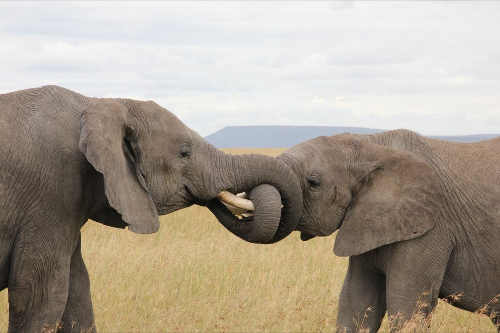 Elephants greet each other by wrapping their trunks together - Serious Facts
