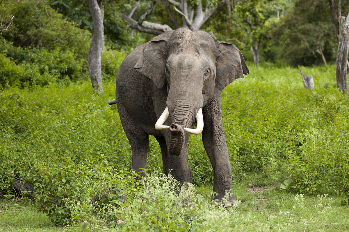 Elephants use their incisor teeth for defense, digging for water and lifting things