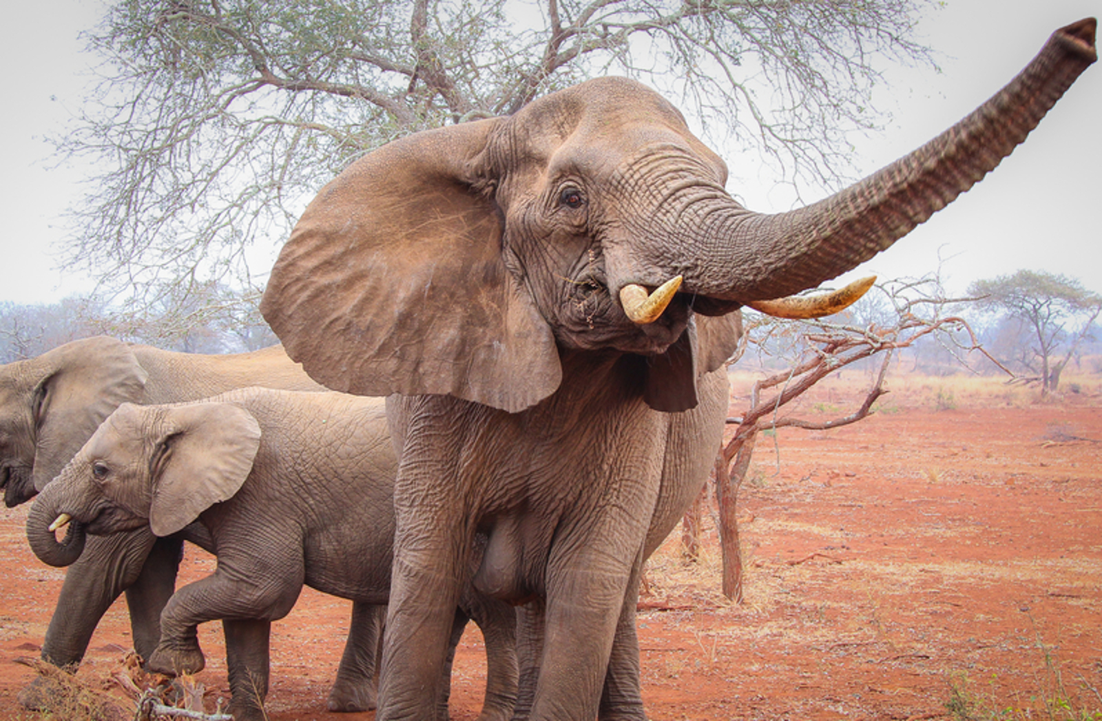 Elephants waive their trunks to smell better.