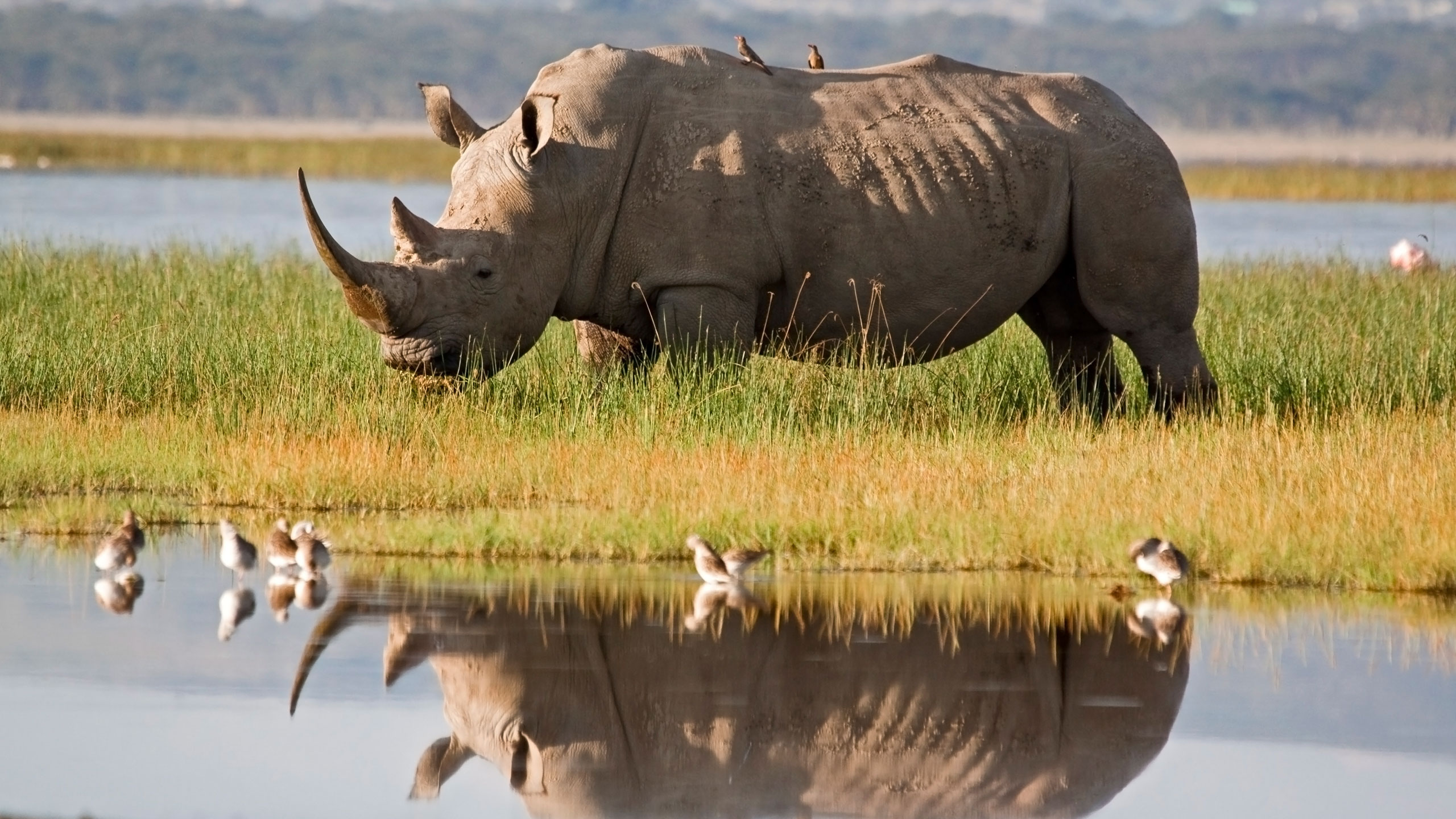 Javan rhino is an animal that lives only in Indonesia - Serious Facts