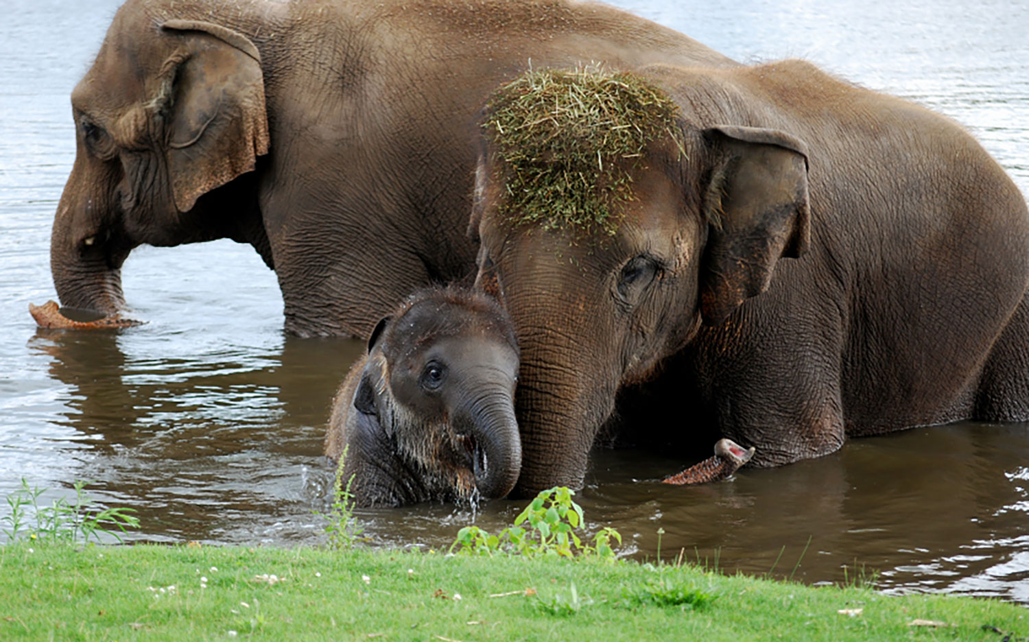The African elephant and the Asian elephant are only two distinct species of elephant left in the world - Serious Facts