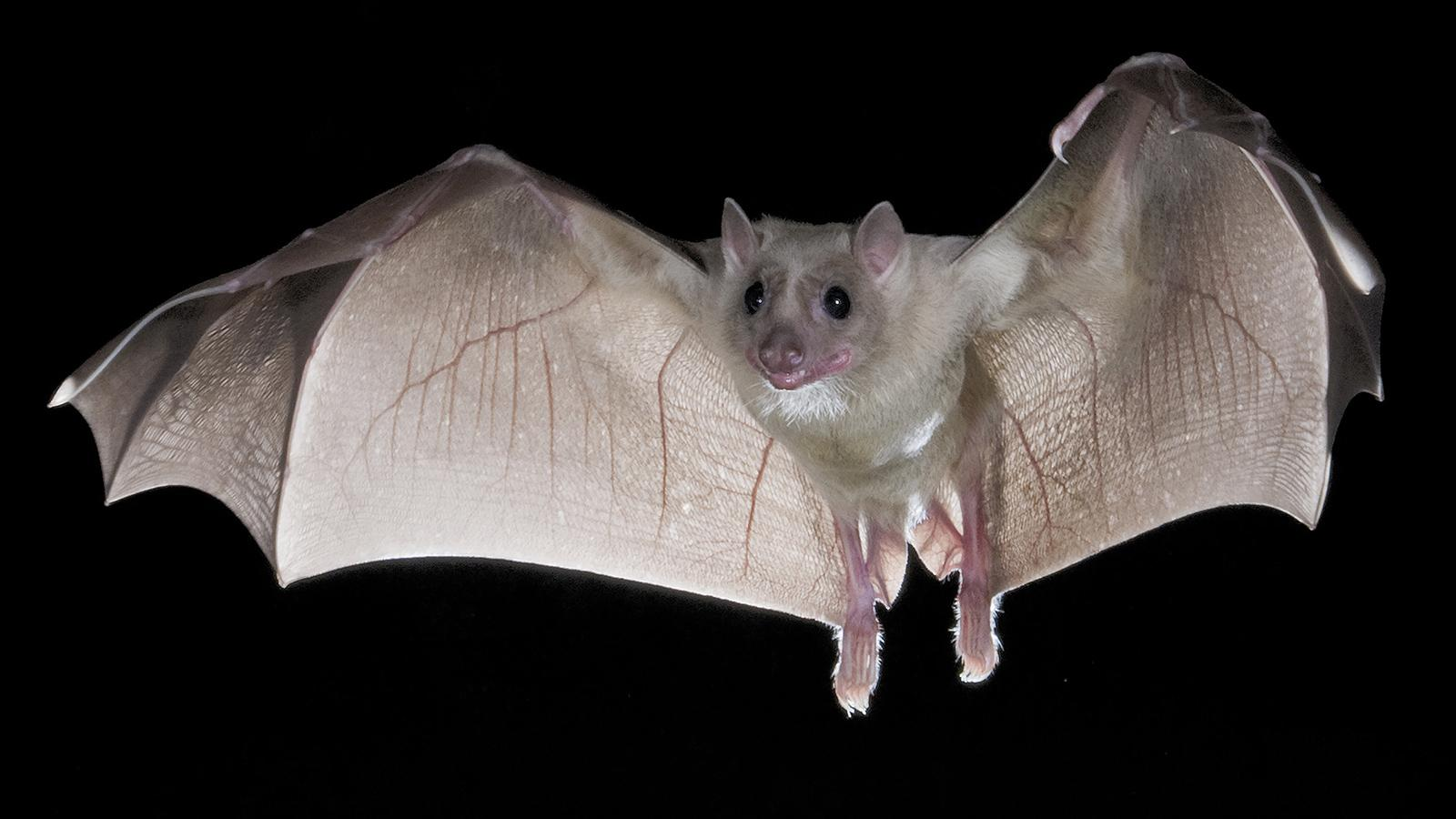 The world's largest bat also known as the flying fox is found in the islands of Singapore.