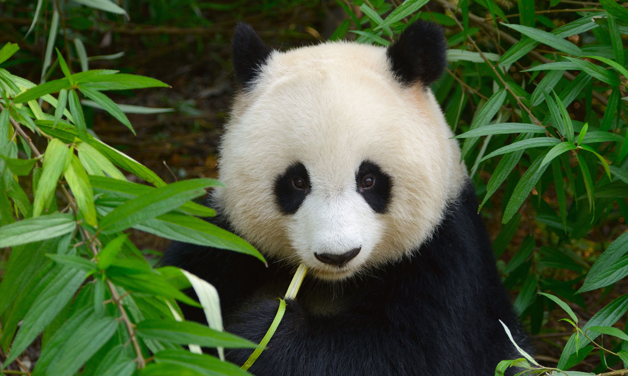 30 Facts About Pandas You Didnt Know Serious Facts