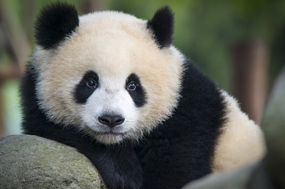 30 Facts About Pandas You Didn't Know