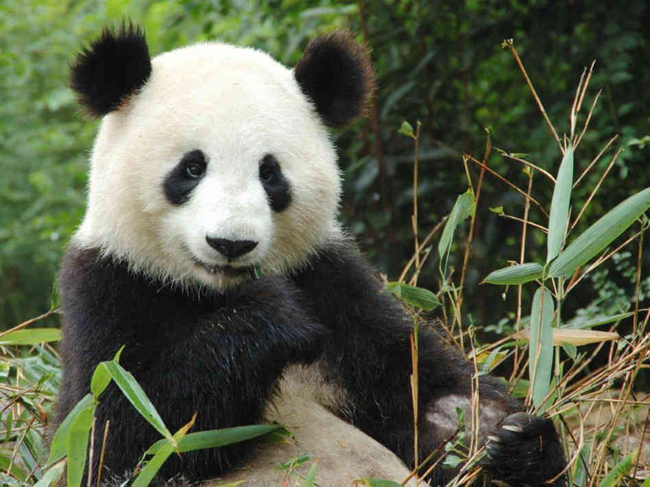 Panda Poop