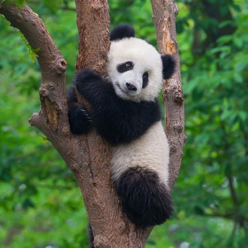 Panda on wild