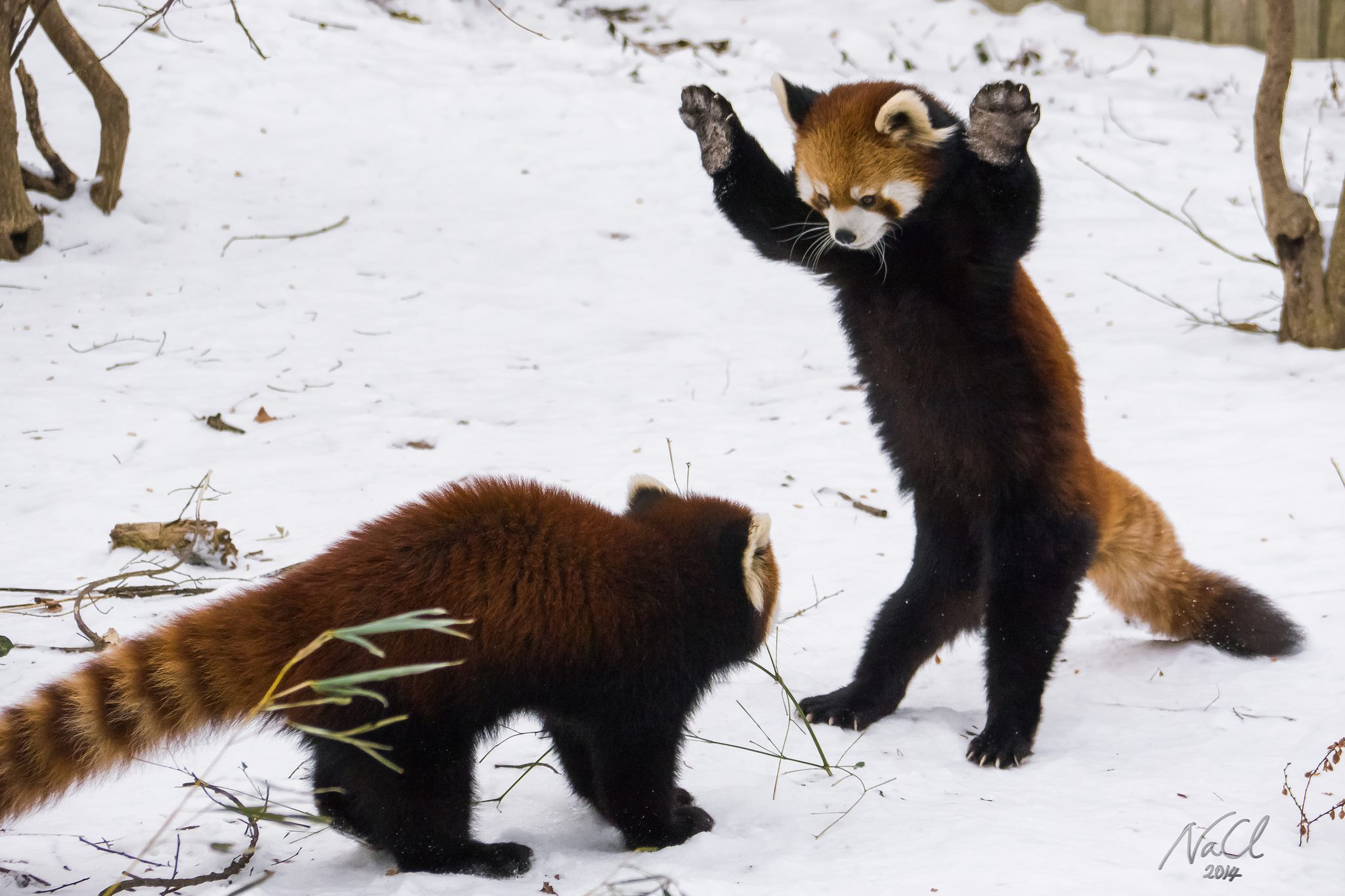 Red male pandas fight