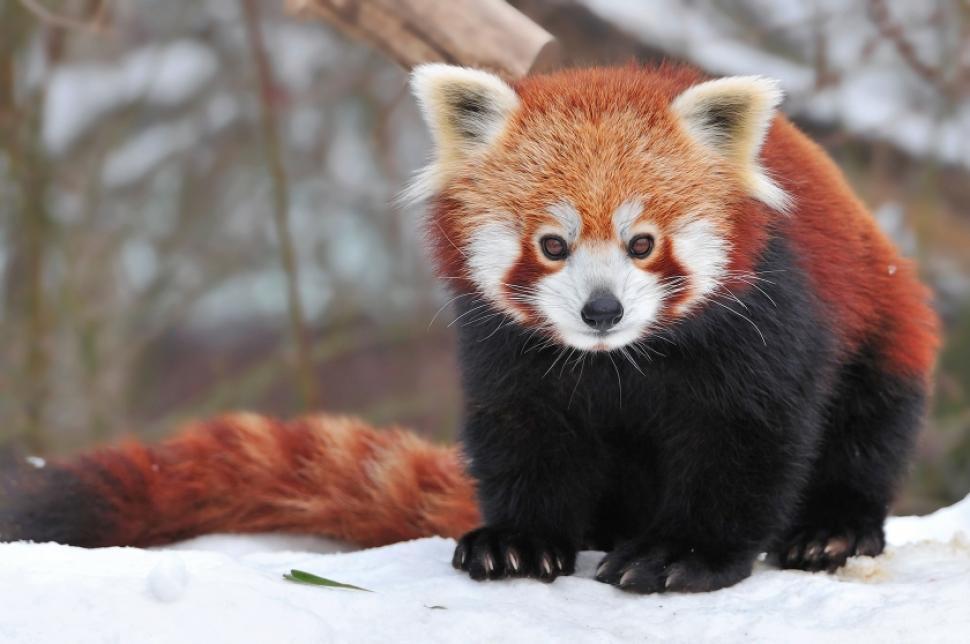 Red Panda feet