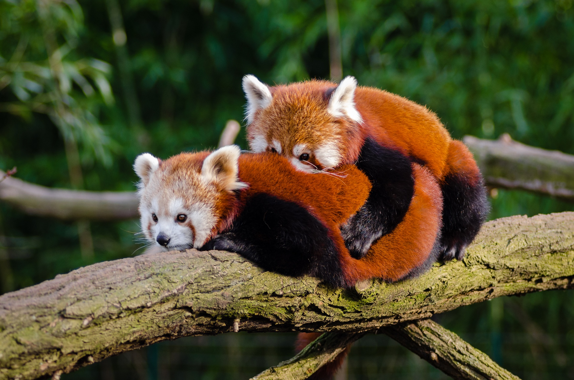 red panda couple