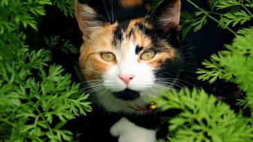 Calico Cat