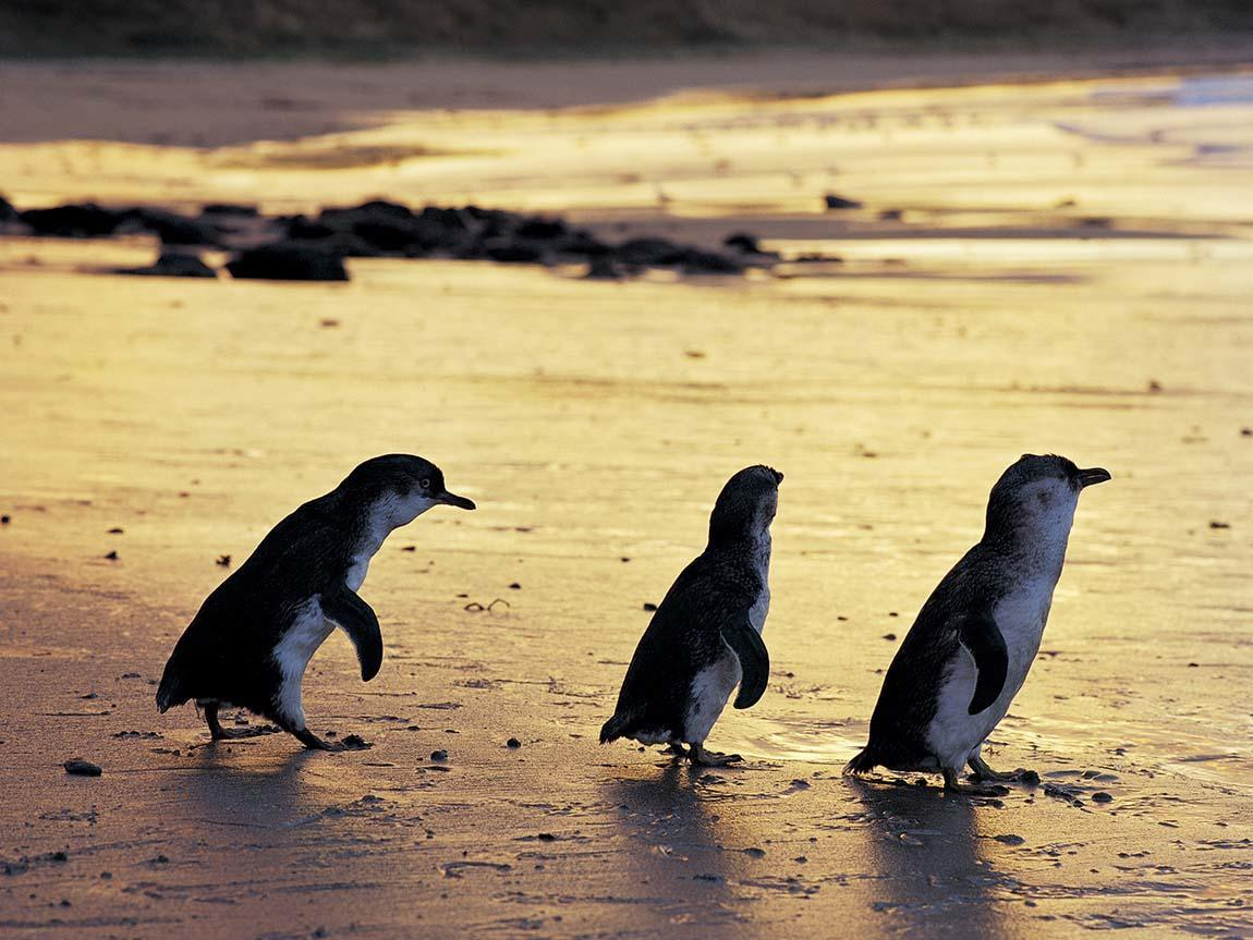 protection of little penguins in Australia