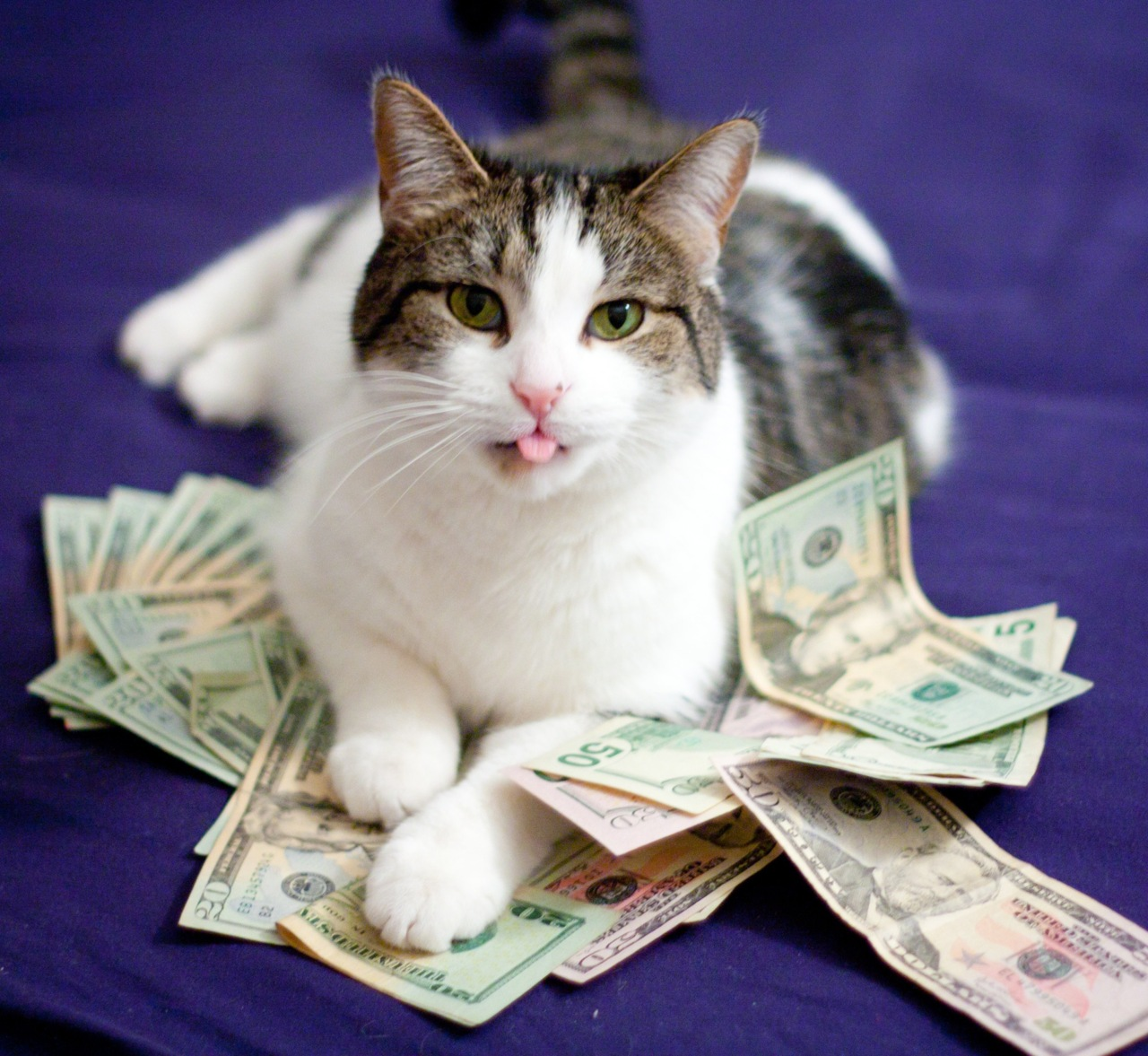 calico cat and money