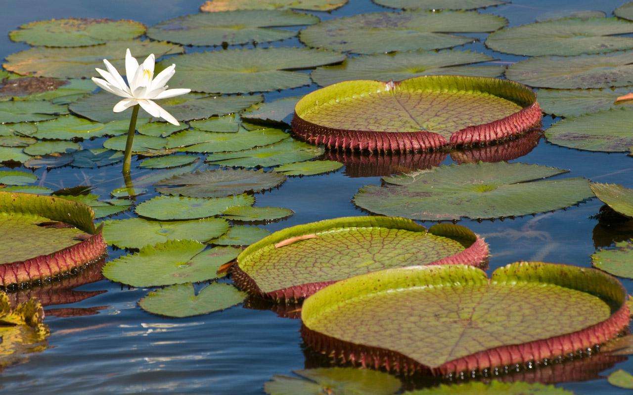 Amazonian water lilies leaves can grow over 2 meters in diameter