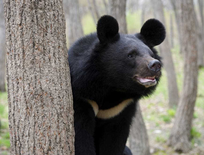 The Asiatic black bear has the largest ears of any species of bears.