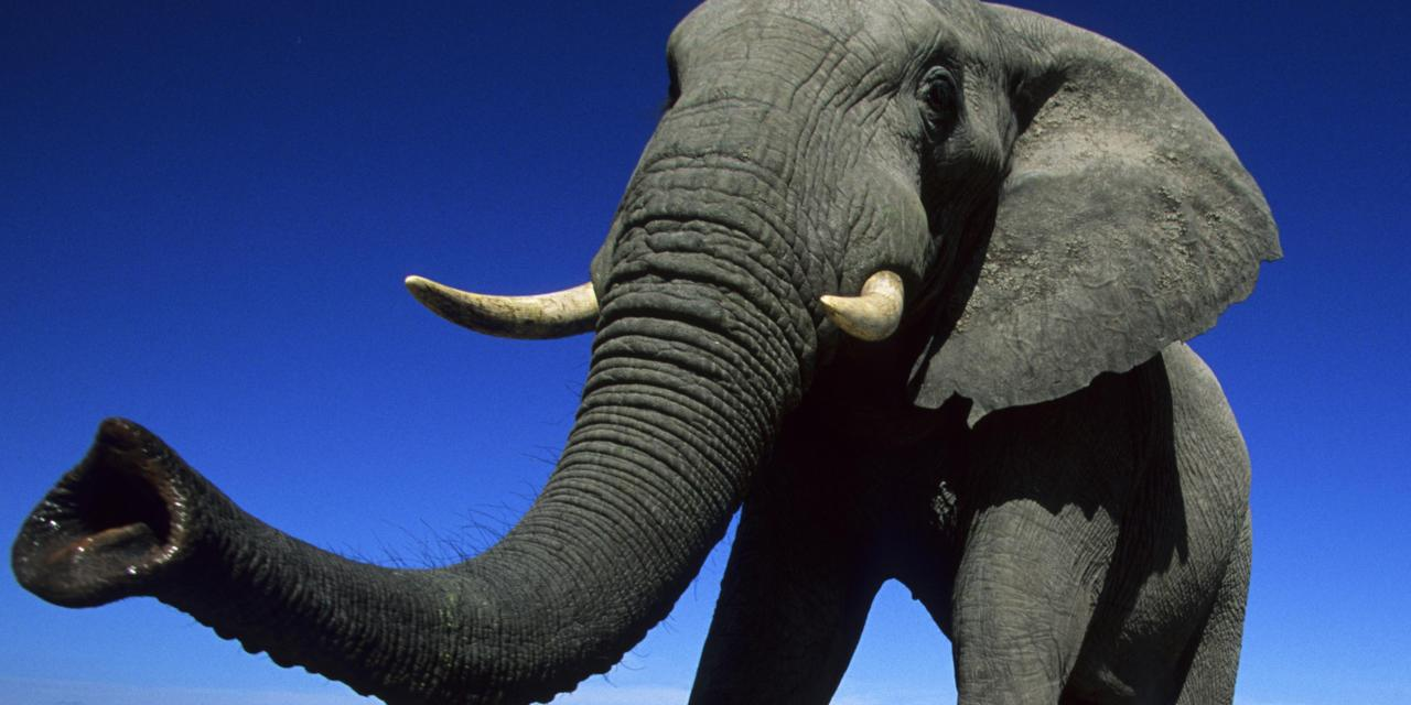 Elephant' s trunk has more than 40,000 muscles - Serious Facts
