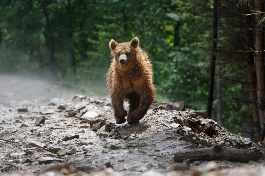 Bears are big and heavy even though they can run very fast