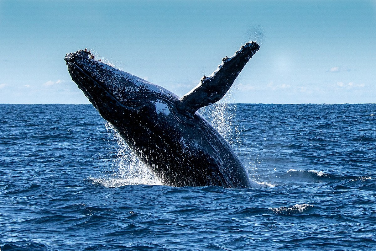 Humpback whales come in the period from December to March every year for mating on the Bay of Samana.