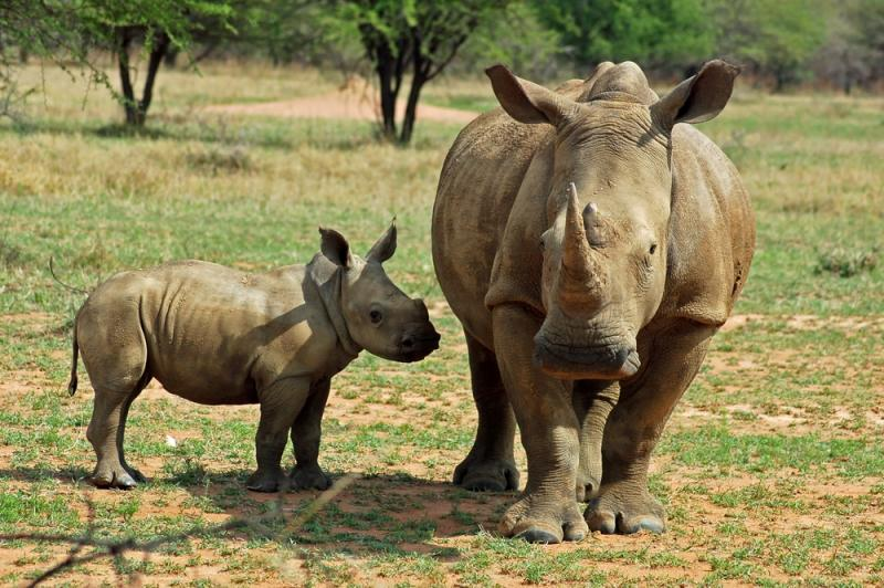 The biggest five animals rhinos, leopards, lions, buffalo, and elephants can all be found in Kenya.