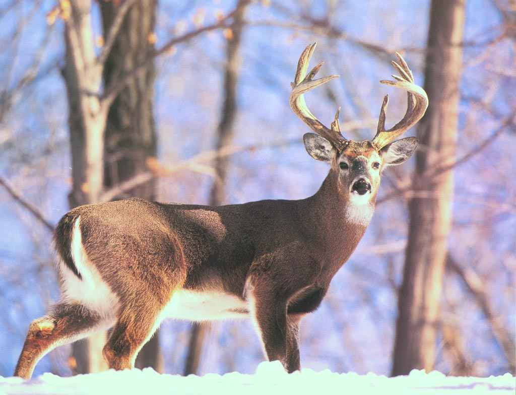 The national mammal is the white-tailed deer.