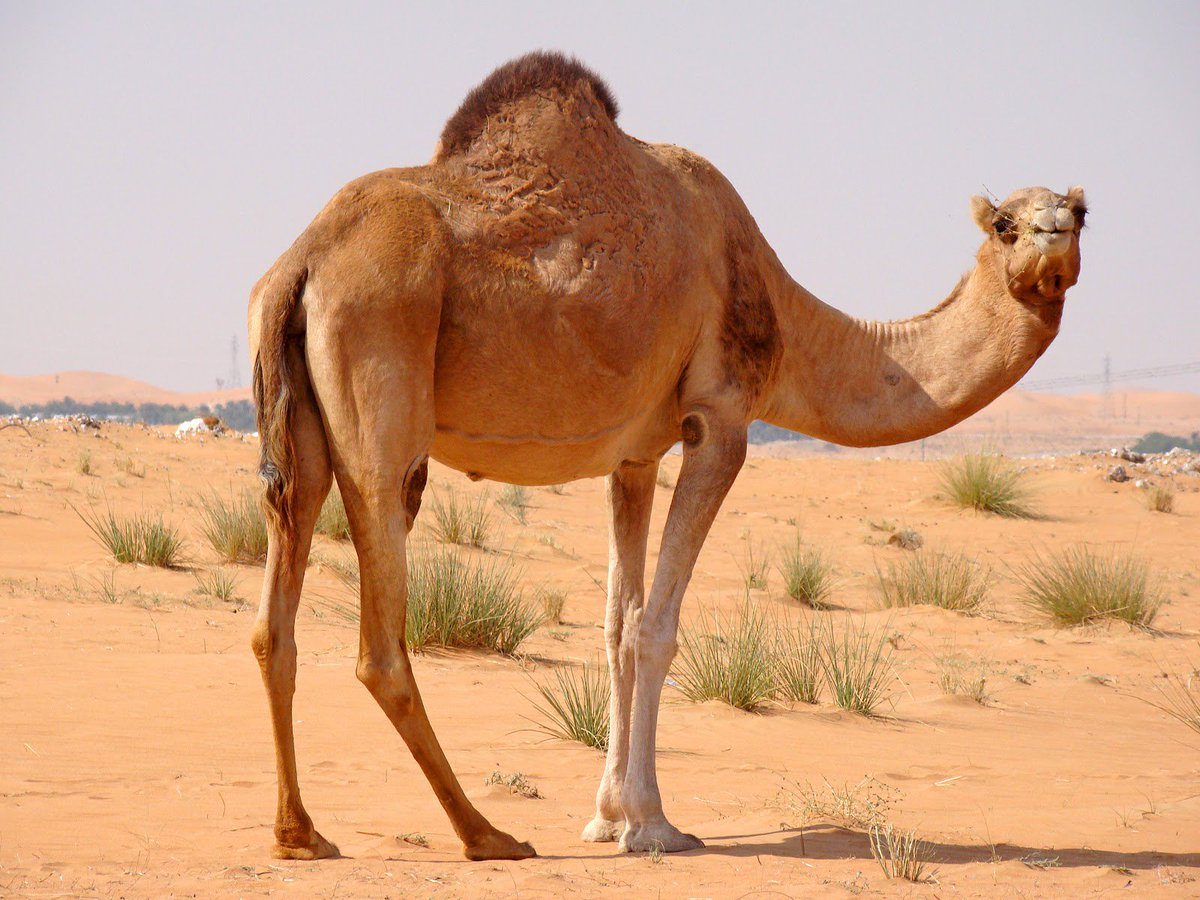 A female camel is pregnant for 13 months.