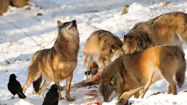 A hungry wolf can eat 20 pounds of meat in a single meal.