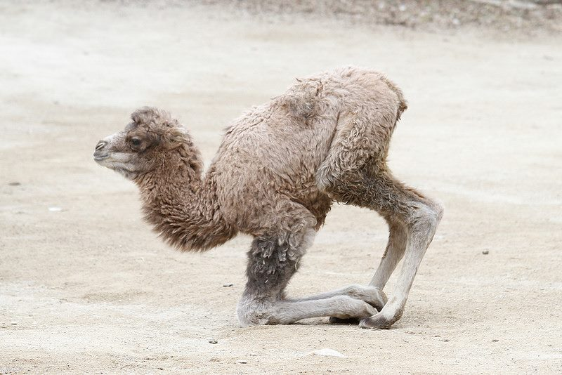 Baby camels are born without humps.