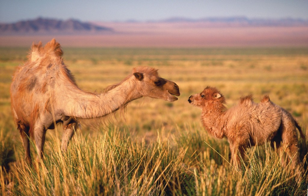 Bractrion Camels live in East Asia and Central Asia.