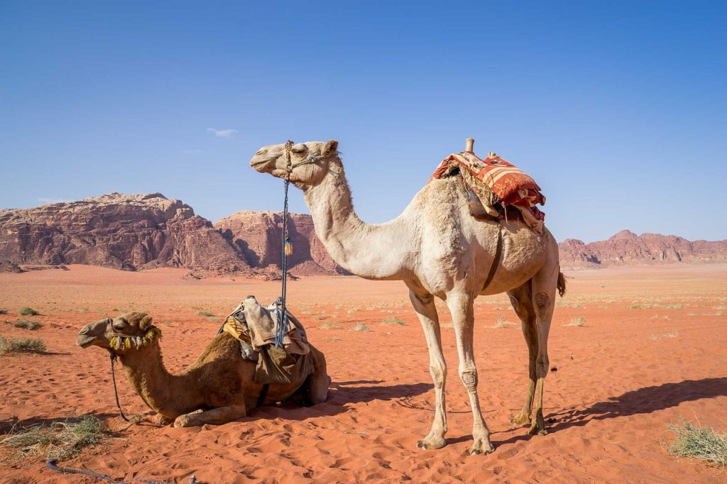Camels are 7ft tall from the top of their hump to their feet.