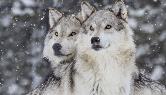 Grey wolves are mostly found in cold countries.