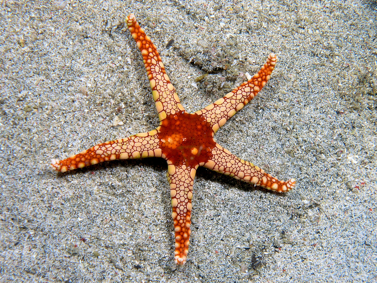 Instead of having eyeballs, starfish has an eye-spot.