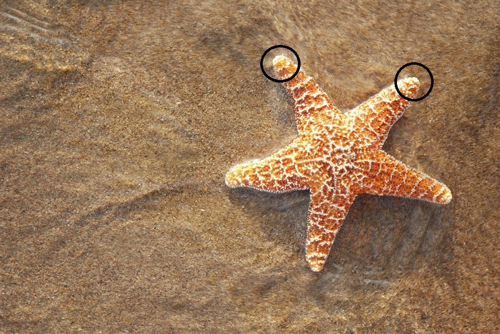 Starfish has an eye spot at the end of each arm.