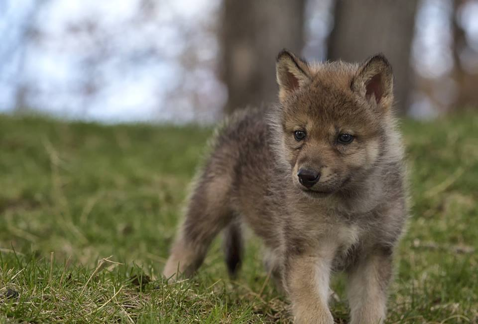 The eyes of wolf's pups are blue at birth and turn yellow by the time they are eight months old.