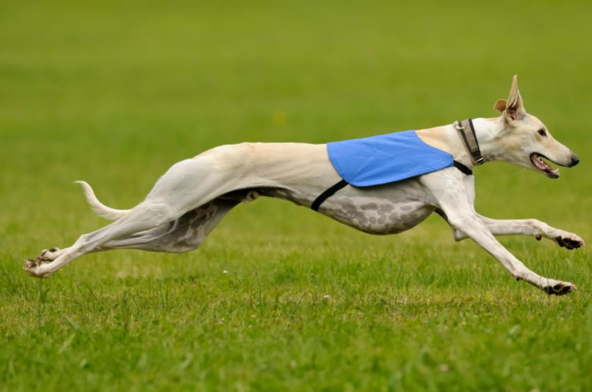 The fastest breed, the Greyhound, can run up to 44 miles per hour.
