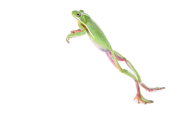 The longest jump ever recorded by frog was 33.6 inches.