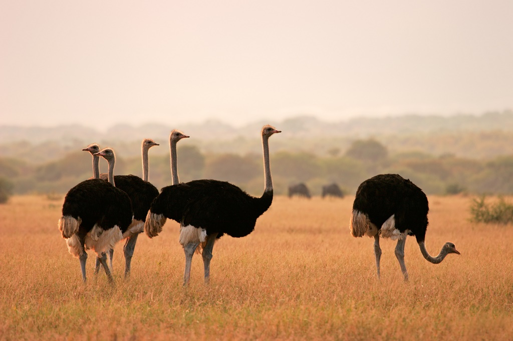 The world's largest bird, the ostrich, is found in South Africa.