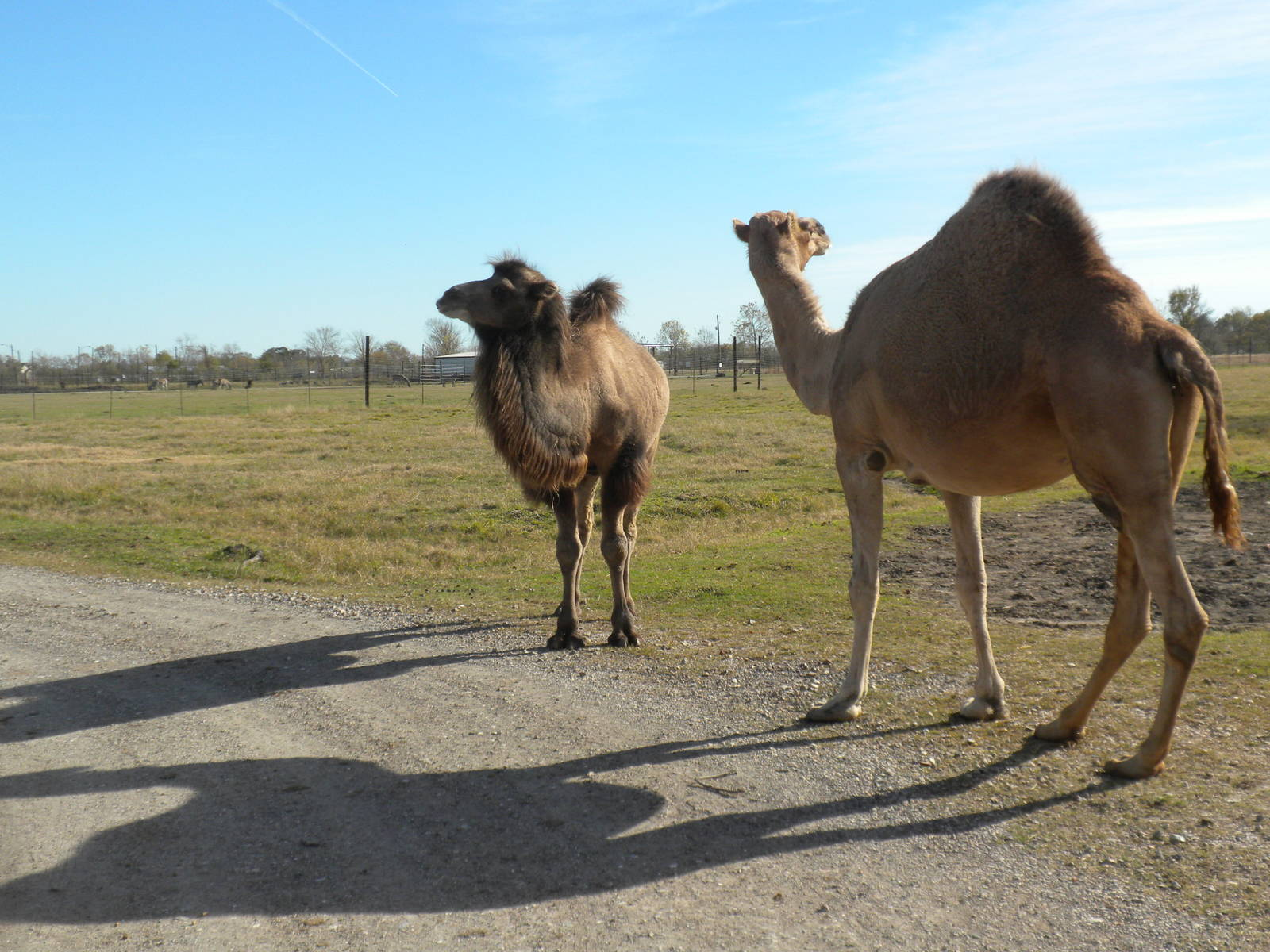 There are two types of camels are Bractrion Camels and Dromedary Camels.
