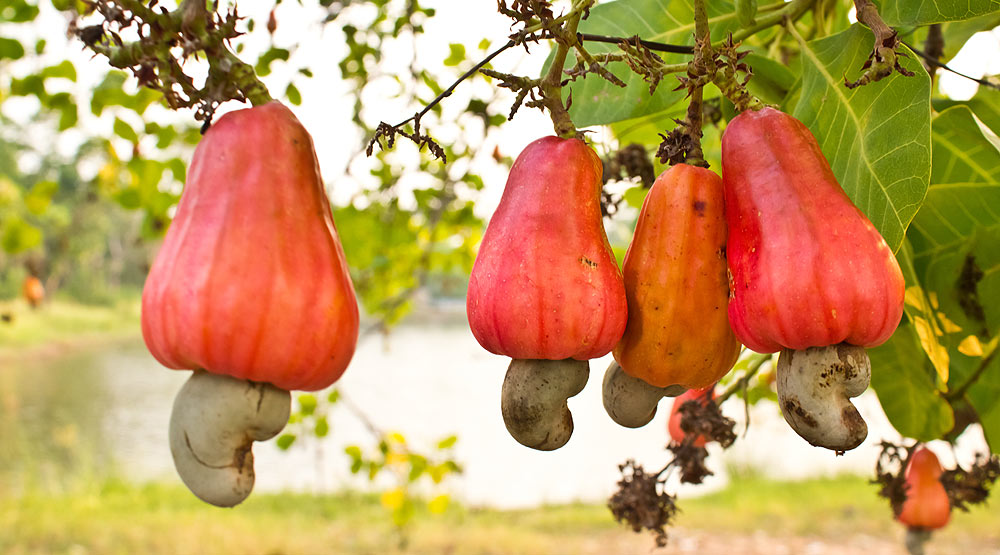 Vietnam is the world's largest exporter of cashew nuts.