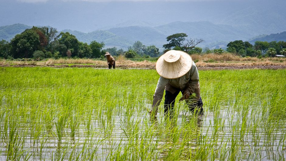Vietnam rice production ranks second in the world after Thailand.