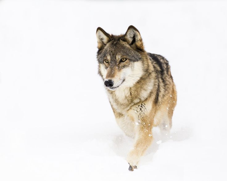 Wolf walk at a speed of almost 4 miles per hour.
